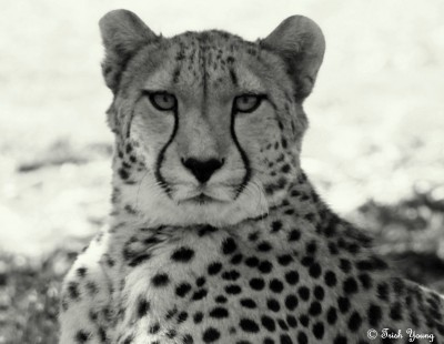 A Cropped B&W Version of the Cheetah at  the Werribee Open Range Zoo.