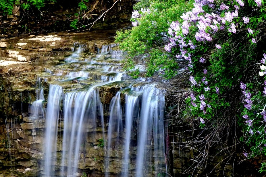 Borer\'s Creek in Hamilton Canada is surrounded by many Lilac bushes and casts a lovely scene when...
