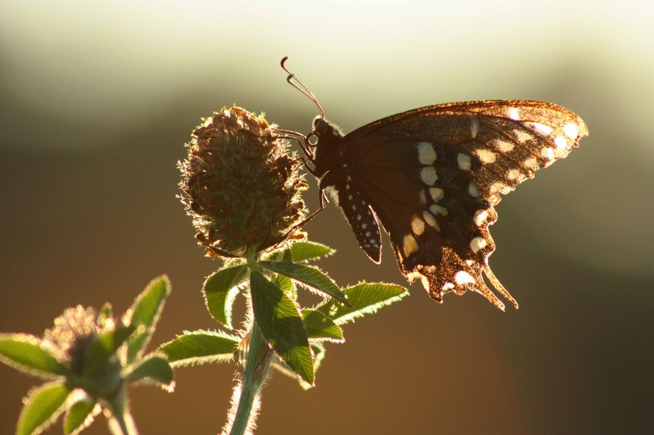 We have large clover fields , in the fall it is not unusual to see a lot of butterflies flutterin...