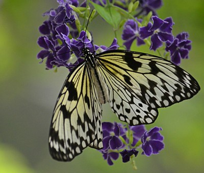 Three Nymph Butterfly