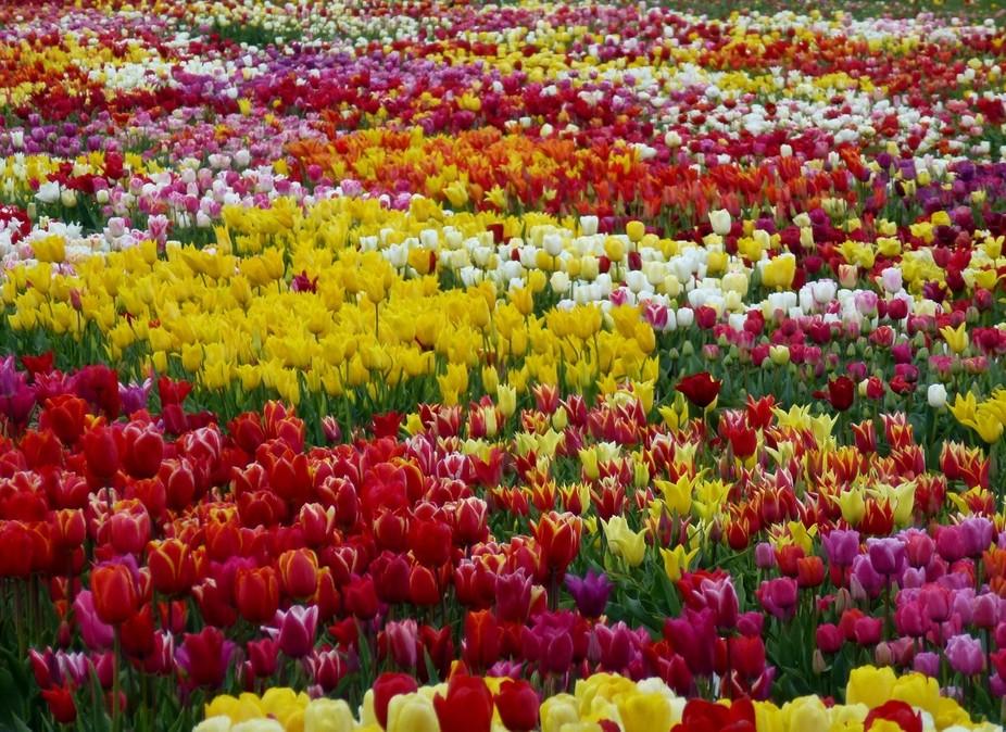 tulip field in Holland.