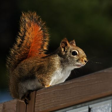 A red squirrel sitting on a wooden privacy screen.