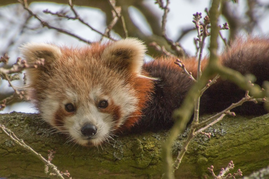 A young red panda hidden in the trees at zsl whipsnade zoo.