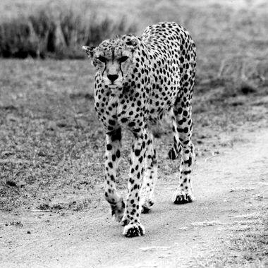 Cheetah Walking