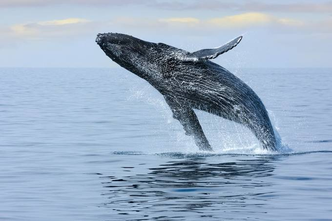 Breaching Hump Back Whale by SueLeonardPhotography - Large Photo Contest