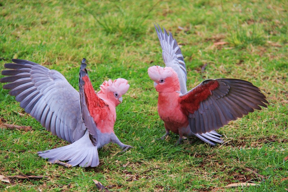In Alice Springs NT Australia 2 Galah\'s were fighting over a female