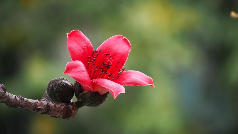 A blossom kapok flower in Hong Kong