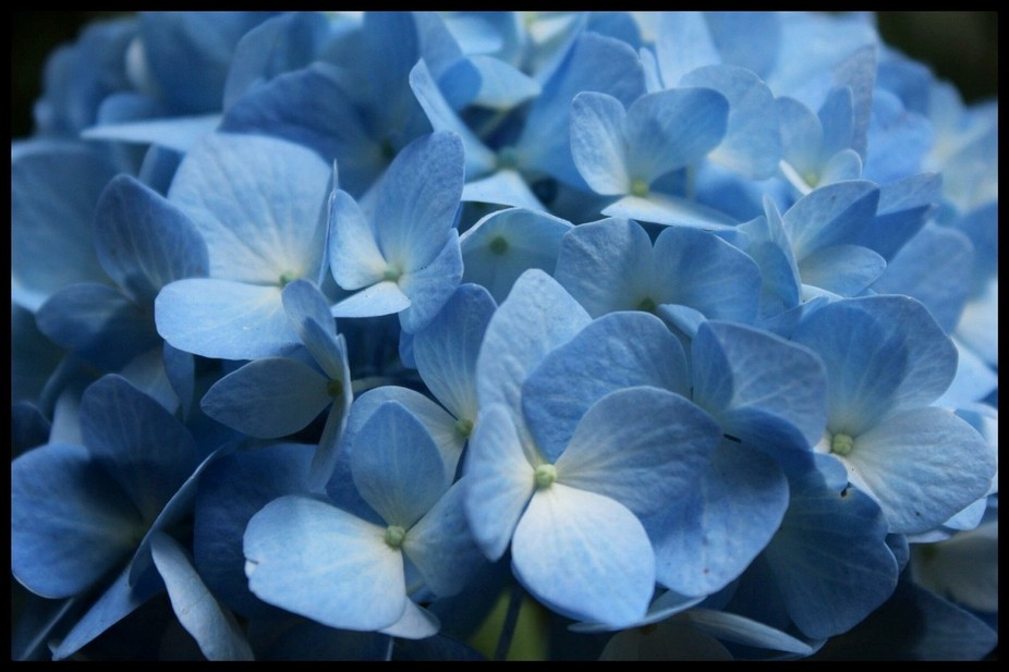 Blue hydrangea in Poulsbo Wa. September 2014 with my cannon rebel t2i zoom lens.