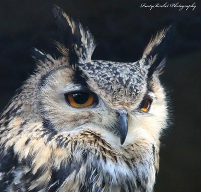 Indian Eagle Owl