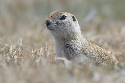 Ground Squirrel-Eye to Eye