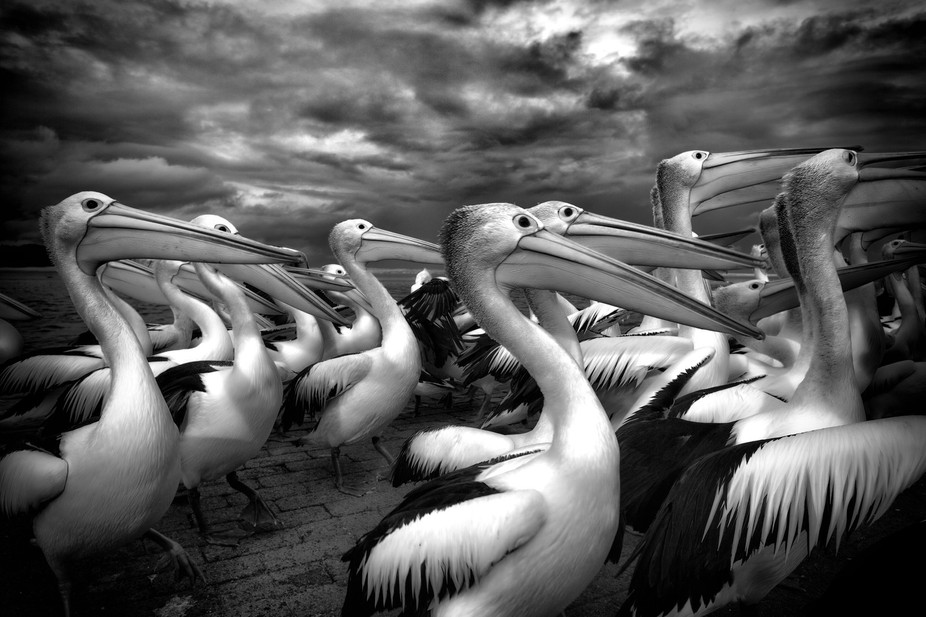 An army of pelicans marches forth!