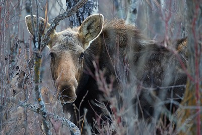 Moose-A Gentle Giant