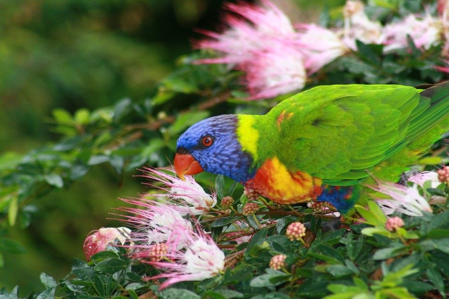 Rainbow Lorikeet in my back garden.