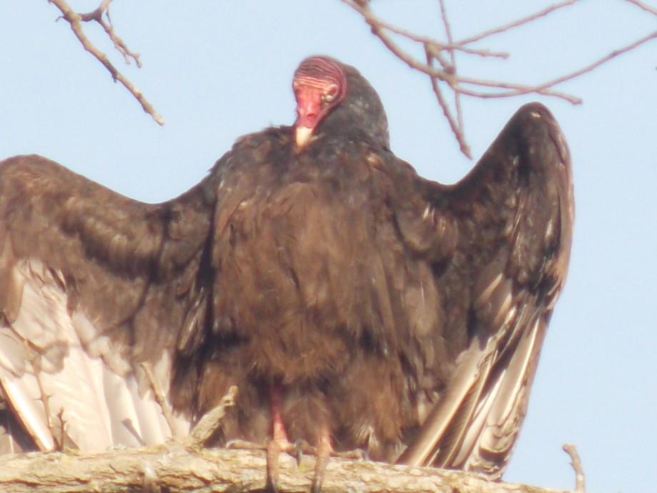 vulture sunning itself
