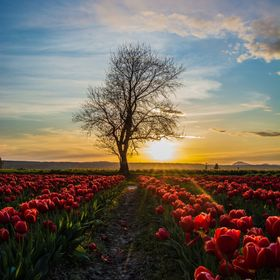 I love shooting in the  hour before sunset. Such magically light. I struggled hard to get a different edge than just showing the tulips. I saw th...