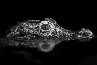 Camen Crocodile