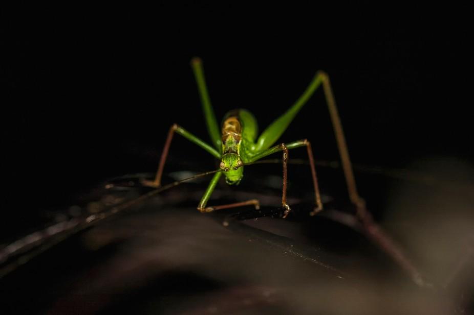 Macro of a Grasshopper.