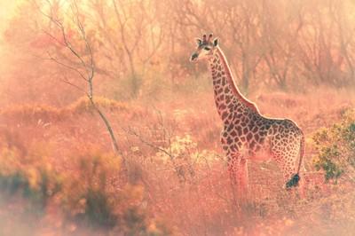 lone girafe