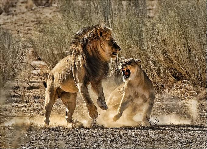 Aggression by donaldbrotherston - Wildlife Photo Contest 2017