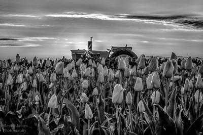 B-W tulips