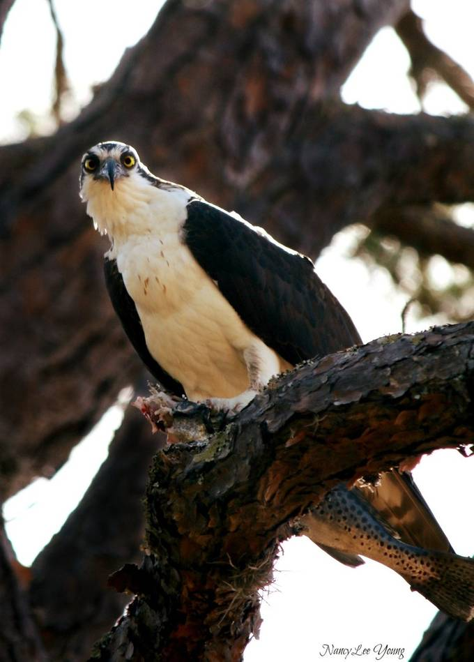 Osprey lunch ~  spotted trout