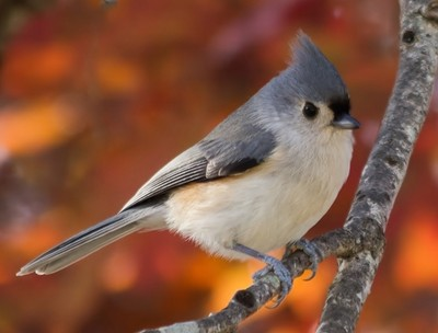 Titmouse in Tree 1