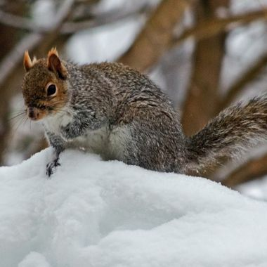 A grey squirrel sitting on a snow bank.