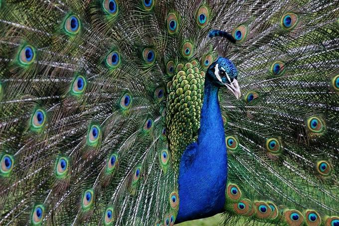 Peacock in all his glory by KIRWAN - A World Of Blue Photo Contest