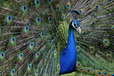Peacock in all his glory