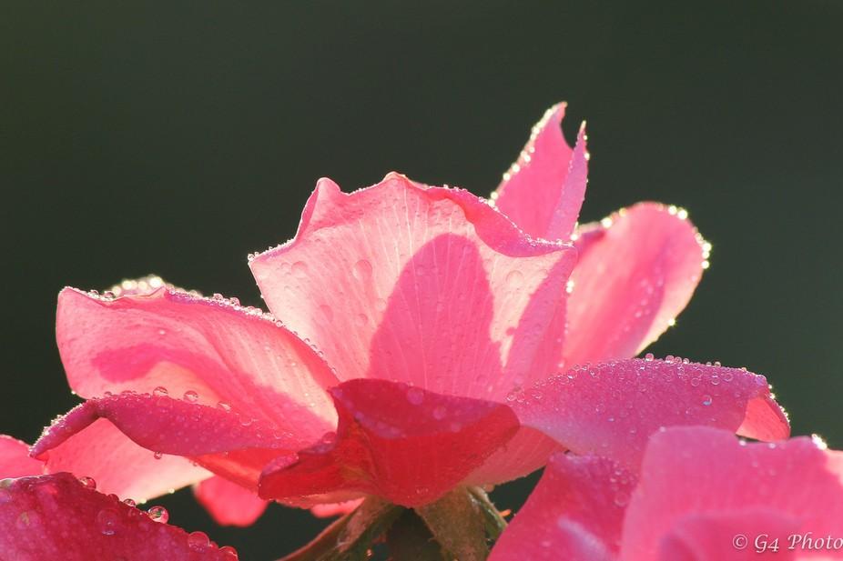 Back light Pink Rose