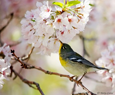 Northern Parula in the Blossoms