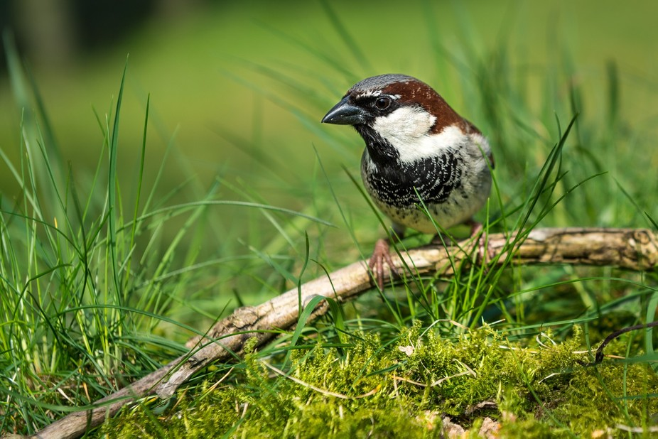 sparrow sitting on a branch amidst grass and moss