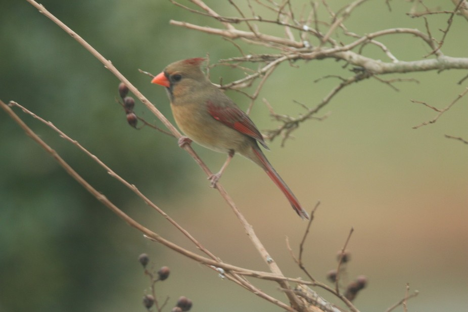 Female cardinal on a tree branch in my back yard.