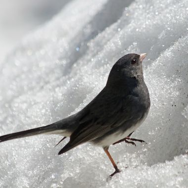 A slate coloured junco in the snow.