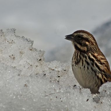 A song sparrow in the snow.