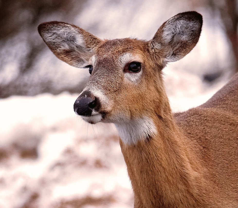 This older doe was staring at something when I took her picture