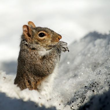A grey squirrel eating seeds in a hole in the snow.