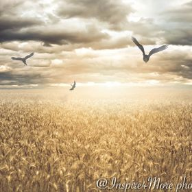 © All Rights Reserved Amazing wheat crop in my home town, it was perfect like a golden blanket covering the land.