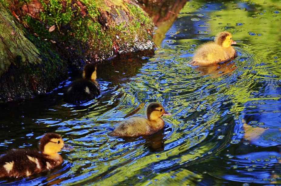 Ducklings glide through the painterly water in the morning sunlight.