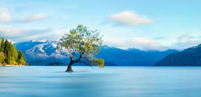 THE Wanaka Tree