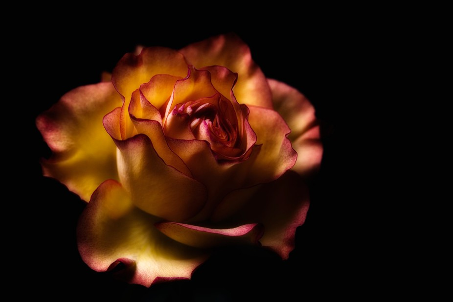 Still life of a beautiful Rose, they say photography is the international language but I also thi...