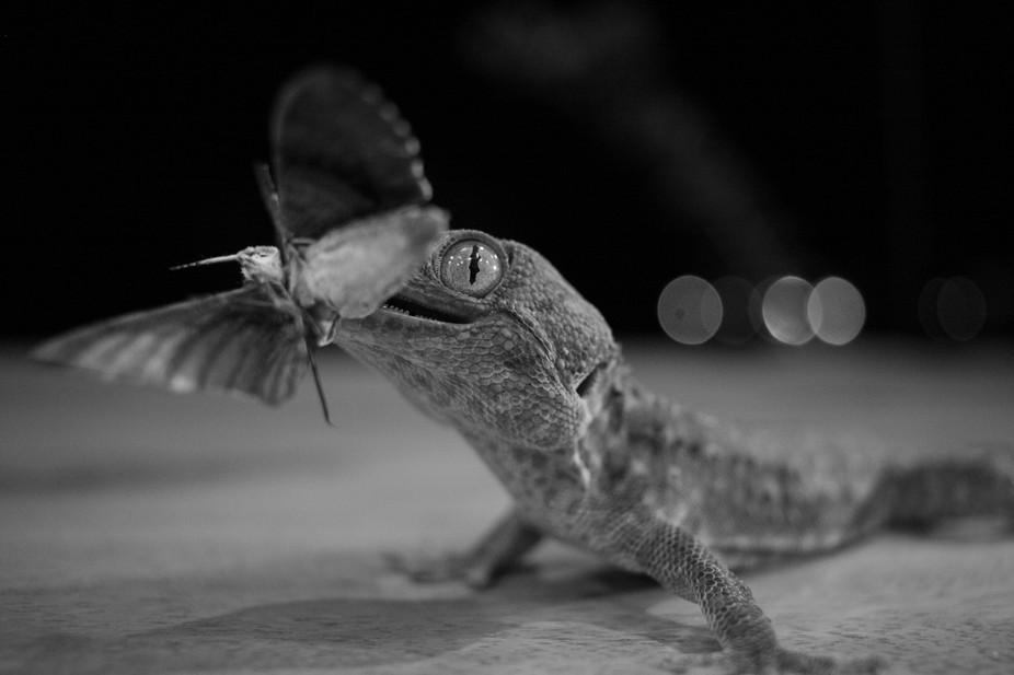 "A 9"" Tokay Gecko (Gekko gecko) eating a giant moth."
