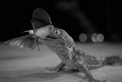 Hungry Tokay in Black and White