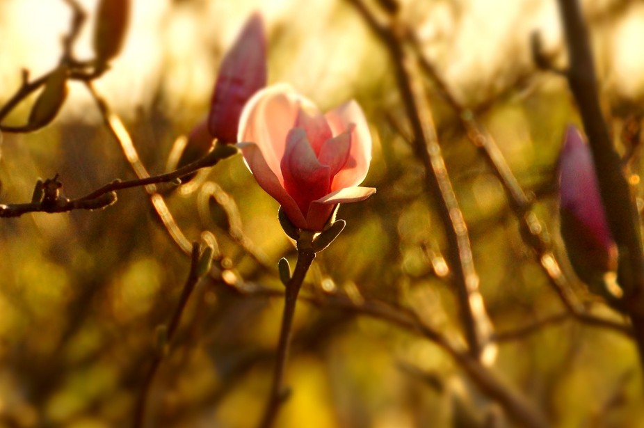 Signs of Spring - Magnolia blossom beginning to open