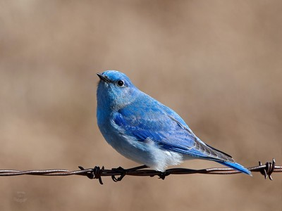 Mountain Bluebird - Favored Perch