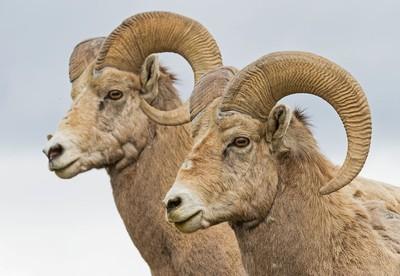 Bighorn Rams