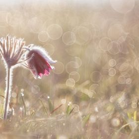 A Small Pasque Flower (Pulsatilla pratensis nigricans) in the early morning with a lot of pearls of dew around it. I've used a Meyer Görlitz Pri...