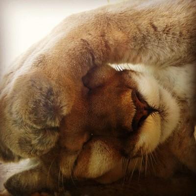Sleepy kitty! #lioness #animals #zoo #nature #summer