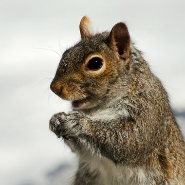 A close-up of a grey squirrel.