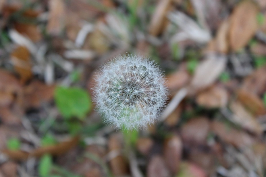 I have been looking for the perfect dandelion picture and I have finally found it!